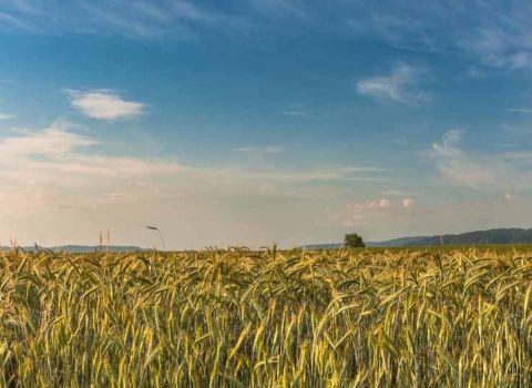 pšenica-biourtika