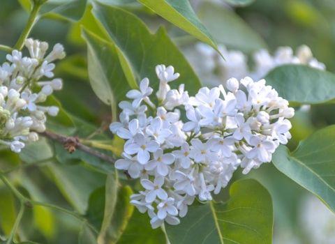 bijeli-jorgovan-biourtika