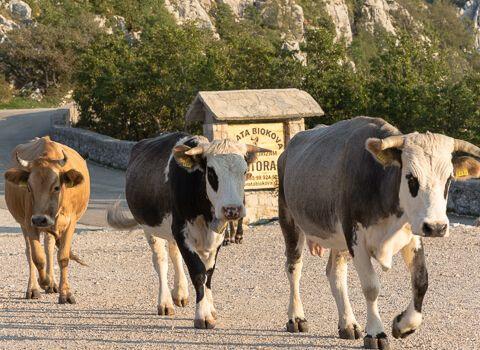 Na-biokovu-krave-dolaze-na-pojilo-nakon-cjelodnevne-paše-biourtika