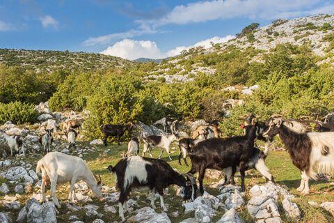 Visoko-na-Biokovu-koze-pasu-daleko-od-ljudi